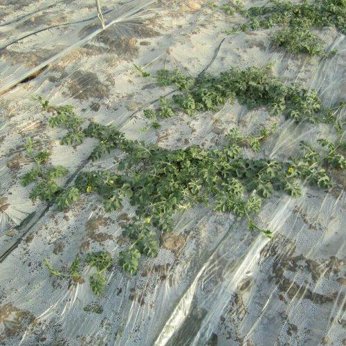 Plástico-siembra-huerto-invernadero-cultivo-natural-agrcicultura