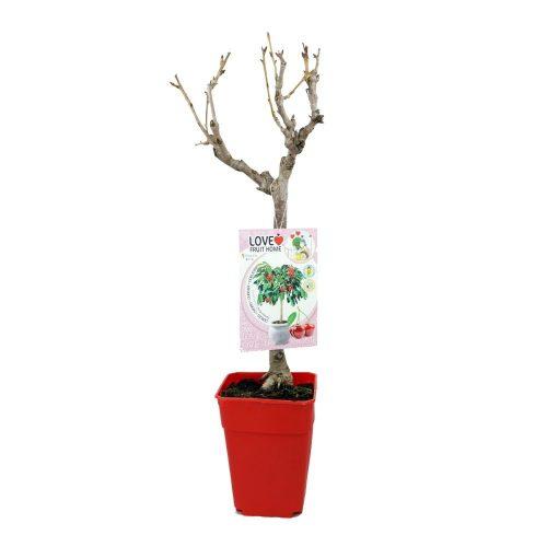 cerezo-enano-garden-bing-natrual