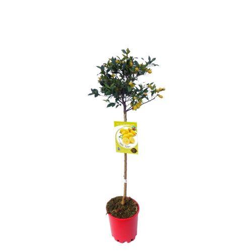 limequat-10-l-m-25-citrofortunella-x-floridana-2