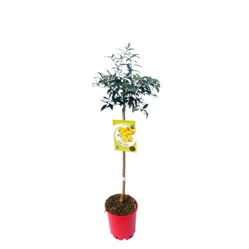 limequat-10-l-m-25-citrofortunella-x-floridana